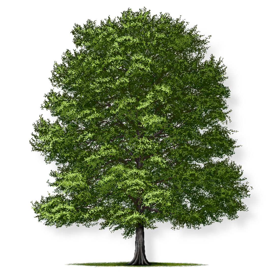 https://treemontgomery.org/wp-content/uploads/2018/12/american-beech-render.png