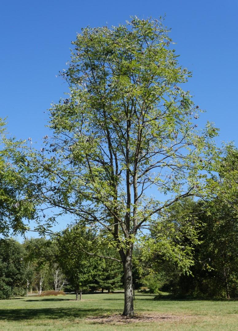 kentucky coffeetree tree expand